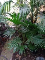 Livistona chinensis - Chinesische Schirmpalme
