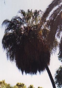 Livistona decora - Trauer-Schirmpalme