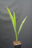 Acoelorrhaphe wrightii - Everglades-Palme 30 - 40 cm