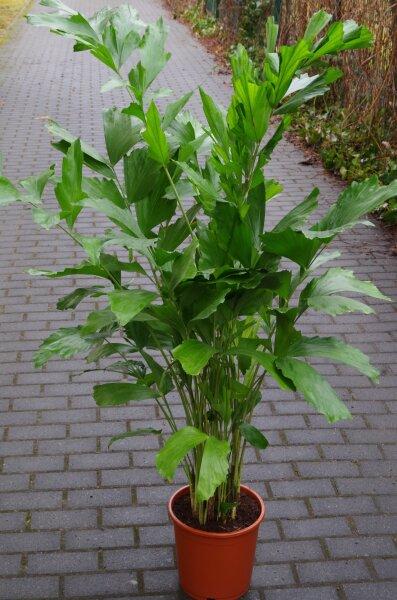 Caryota mitis - Fischschwanzpalme