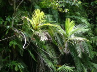 Pinanga coronata - Poster