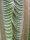 Encephalartos transvenosus - Poster