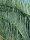 Cycas cairnsiana - Poster