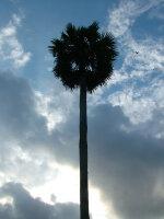Borassus flabellifer - Poster