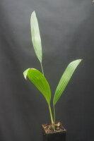 Livistona chinensis - Chinesische Schirmpalme 40 - 50 cm