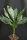 Chamaedorea metallica - Metallische Bergpalme
