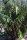 Arenga tremula - Philippinsche Zwergzuckerpalme