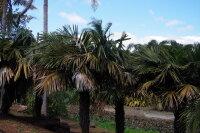 Syagrus schizophylla - Arikury-Palme