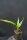 Jubaeopsis caffra - Pondoland-Palme
